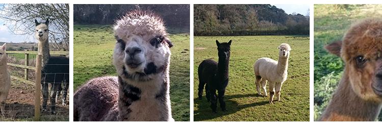 Super-cute-alpacas